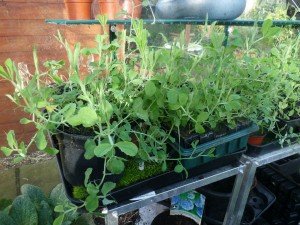 Seedlings in your London greenhouse